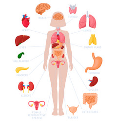 woman internal organs infographic human body vector image