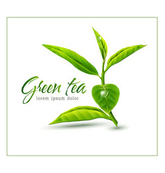 branch of green tea isolated on white background vector image vector image