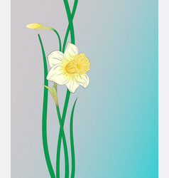 narcissus illuctration vector image