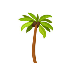 Big palm tree with coconut fruits and green leaves vector