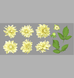 flowers of yellow dahlia with buds and leaves vector image