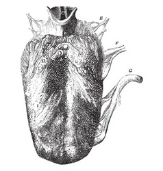 Tongue showing three kinds of papillae vector