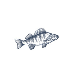freshwater fish european balkhash perch isolated vector image