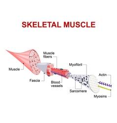 skeletal muscle vector image