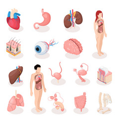 Human organs isometric icons set vector
