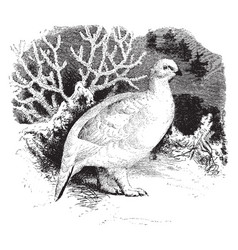 Willow ptarmigan in winter vintage vector