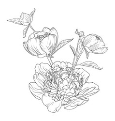 peony rose flowers bouquet composition isolated vector image