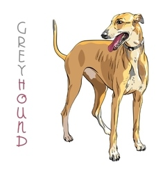 Greyhound Dog breed vector image vector image