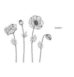 poppy flower and leaf hand drawn botanical vector image