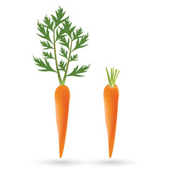 two carrots on white background vector image