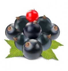 Currant black and red vector