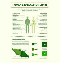 Human cbd receptor chart vertical infographic vector
