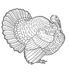 white turkey sketch turkey isolated vector image