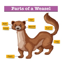 Different parts of weasel vector image