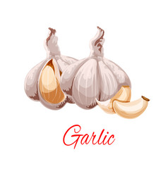 Garlic cloves and heads icon vector