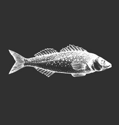Hand drawn seabass fish on chalk board vector