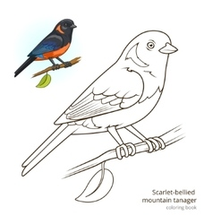 Scarlet bellied mountain tanager color book vector