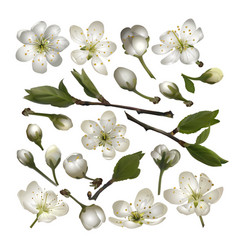 Set of blossoming cherry white flowers vector