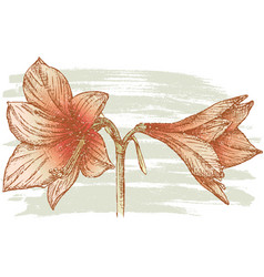Hand drawing red amaryllis vector