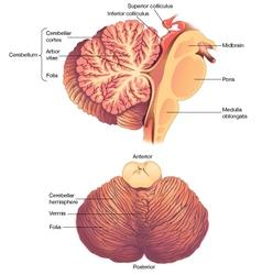Anatomy of the Human Cerebellum vector image vector image