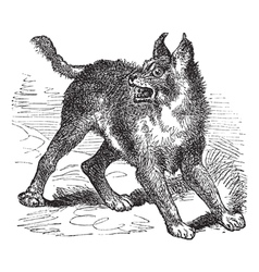 Caracal or Lynx vintage engraving vector image