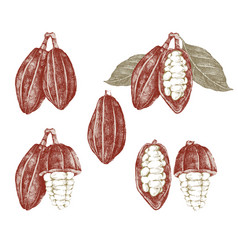 cocoa beans and branches vector image