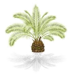 Tropical plant palmae phoenix canariensis date vector