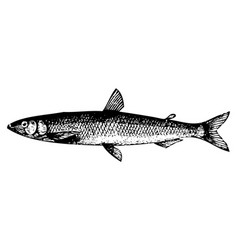 old engraving of a european smelt fish or osmerus vector image