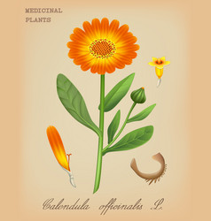 calendula officinalis vector image