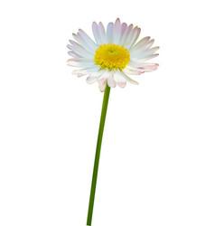 Daisy flower isolated vector