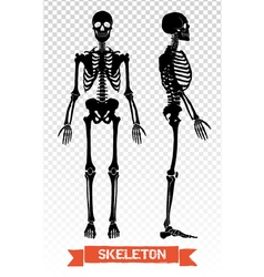 1607i041019Fm005c8human skeleton transparent set vector image