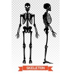 1607i041019Fm005c8human skeleton transparent set vector