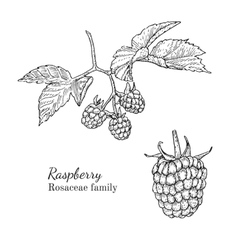 Ink raspberry hand drawn sketch vector