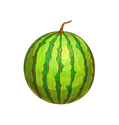 Whole green striped watermelon isolated sketch vector