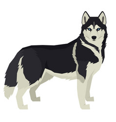 Dog siberian husky isolated vector