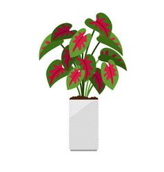 caladium house plant in flower pot vector image
