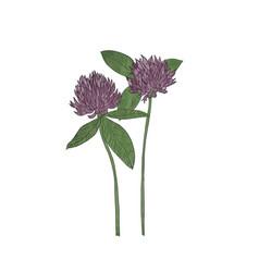 Hand drawn clover flower vector