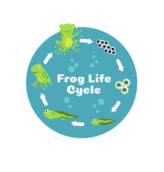 frog life cycle from eggs to tadpole and adult vector image