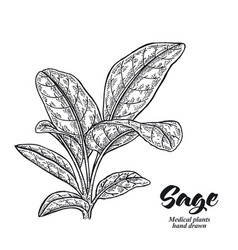 Salvia officinalis plant also called sage garden vector