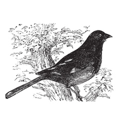 Eastern Towhee vintage engraving vector image vector image