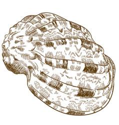 Engraving conch seashell vector