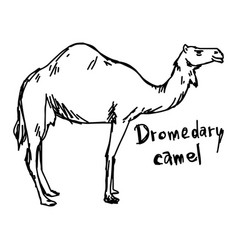 dromedary camel standing on the sand vector image