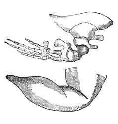 Whale flipper vintage vector