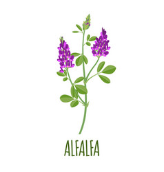 alfalfa icon in flat style on white background vector image