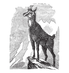 Chamois vintage engraving vector image