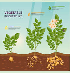Infographic or infochart of potato growth stages vector
