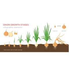 Onion plant growing stages from onion sets to ripe vector