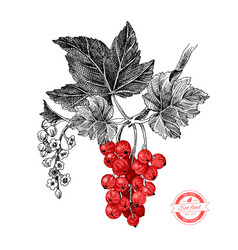 red currant with leaves and flowers vector image