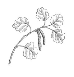 Drawing branch aspen tree with leaves vector