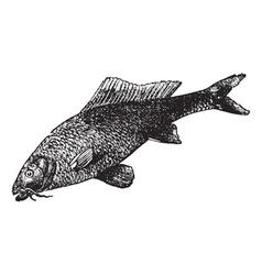 common carp vintage engraving vector image vector image